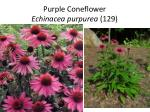 purple coneflower echinacea purpurea 129