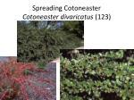 spreading cotoneaster cotoneaster divaricatus 123