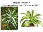 striped dracaena dracaena deremensis warneckii 127