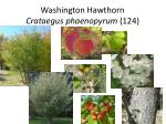 washington hawthorn crataegus phaenopyrum 124