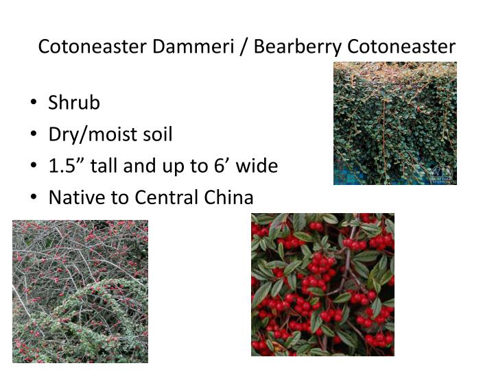 cotoneaster dammeri bearberry cotoneaster n.