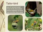 tailor bird