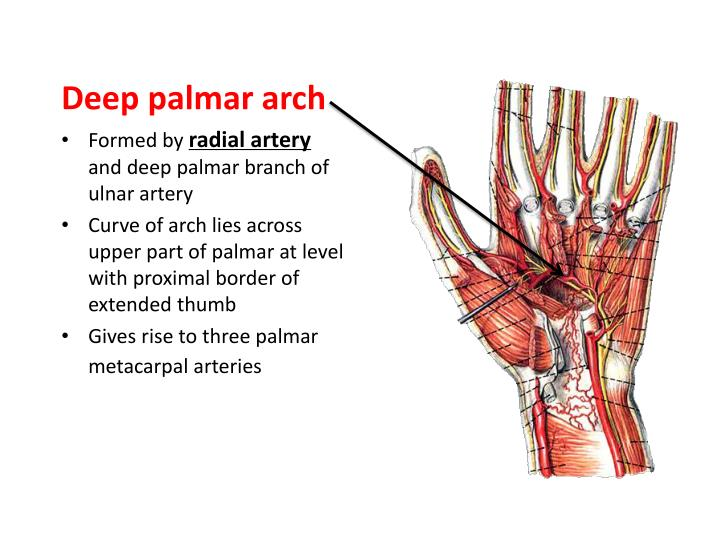 PPT - Blood Supply of the Upper Limb PowerPoint ...