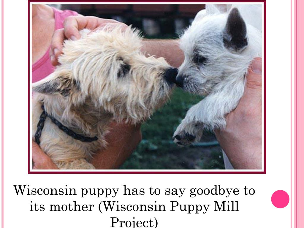 PPT - Cruelty in Puppy Mills: Puppies or Profits? PowerPoint