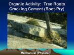 organic activity tree roots cracking cement root pry