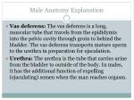 male anatomy explanation2