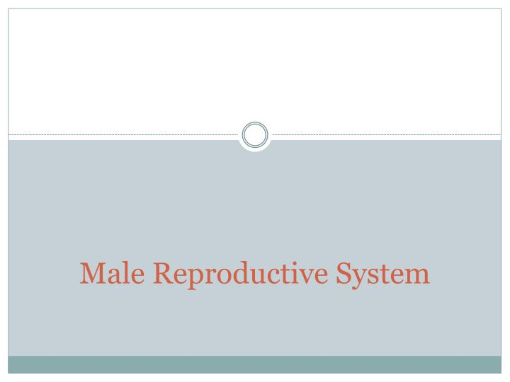 male reproductive system n.