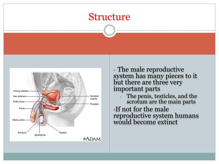 importance of male reproductive system
