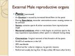 external male reproductive organs1