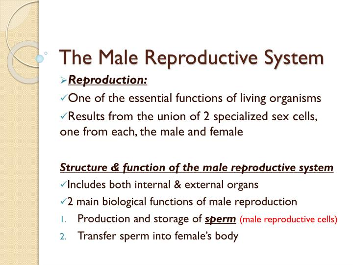the male reproductive system n.