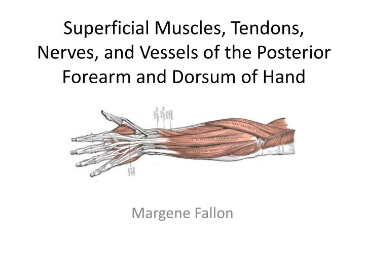 superficial muscles tendons nerves and vessels of the posterior forearm and dorsum of hand n.