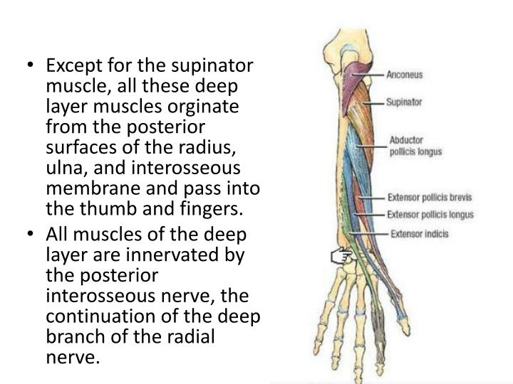 Ppt Deep Muscles Of The Posterior Forearm Powerpoint Presentation