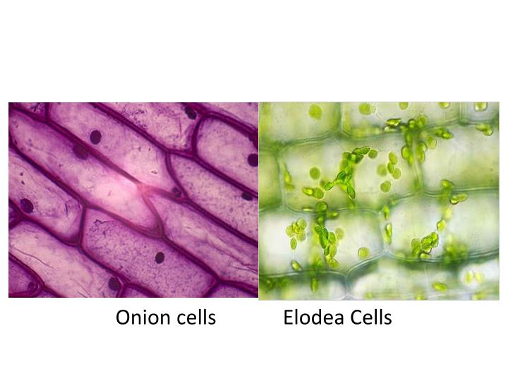 onion cells elodea cells n.