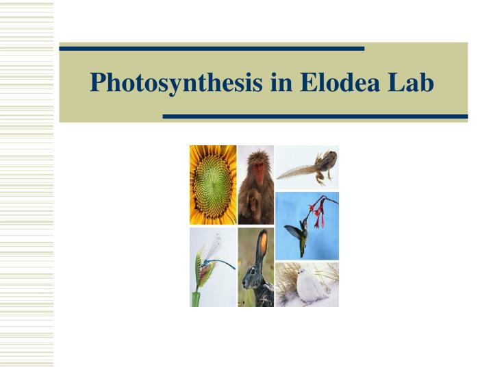 Photosynthesis in Elodea Lab