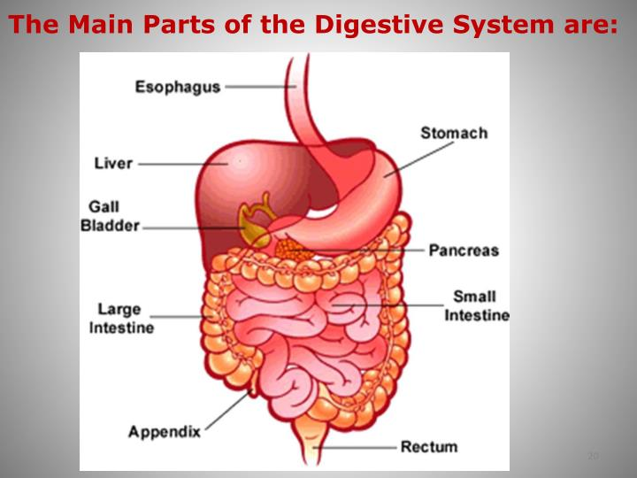 The Main Parts of the Digestive System are: