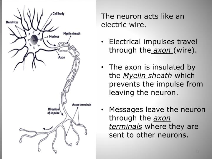 The neuron acts like an