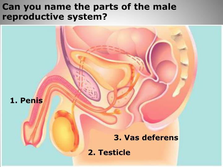 Can you name the parts of the male reproductive system?