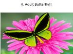 4 adult butterfly