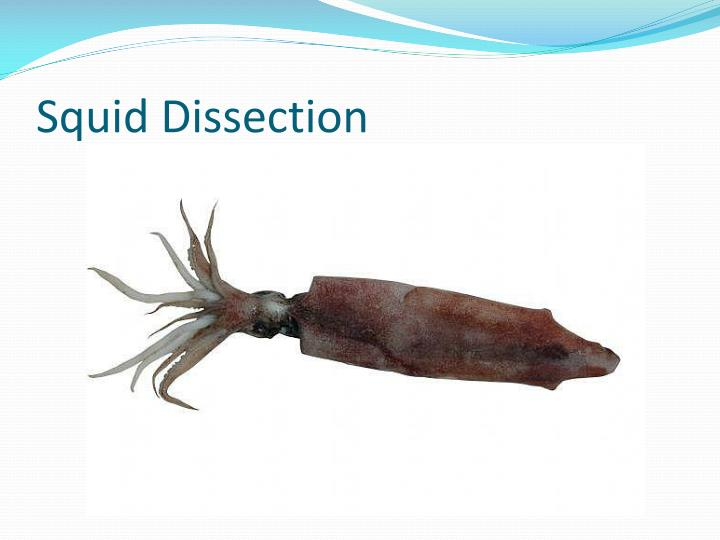 Squid dissection