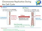 chromosome replication during the cell cycle