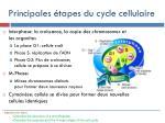 principales tapes du cycle cellulaire