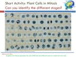 short activity plant cells in mitosis can you identify the different stages