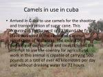 camels in use in cuba