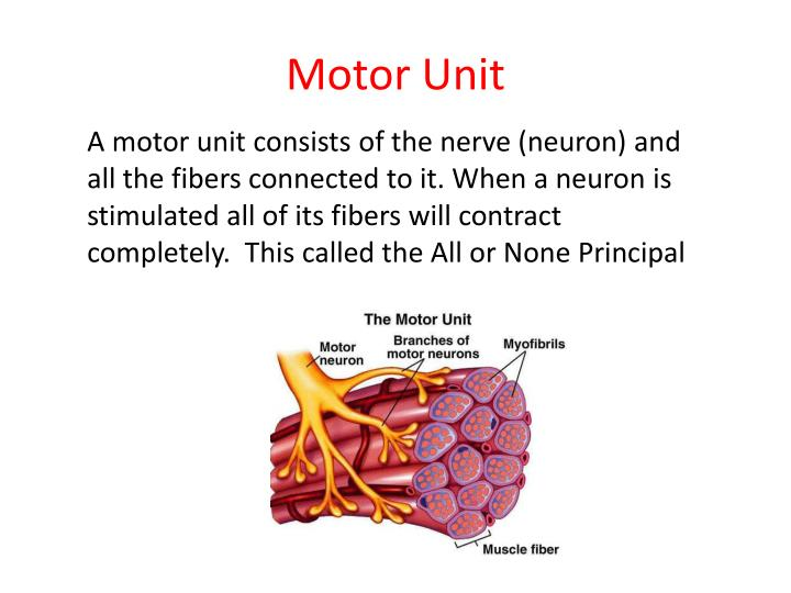 A motor unit consists of the nerve (neuron) and all the fibers connected to it. When a neuron is stimulated all of its fibers will contract completely.