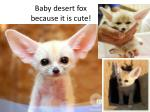 baby desert fox because it is cute