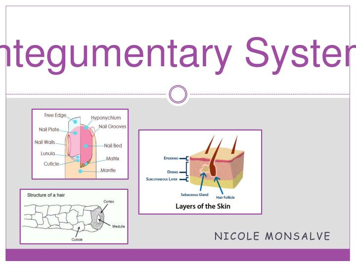 integumentary system n.