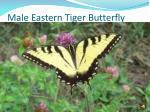 male eastern tiger butterfly