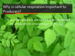 why is cellular respiration important to producers