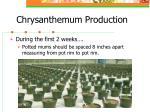 chrysanthemum production4
