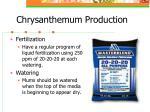 chrysanthemum production7
