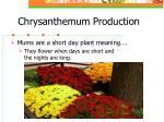 chrysanthemum production8