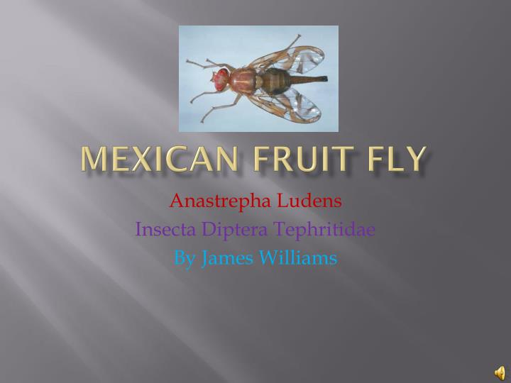 mexican f ruit fly n.