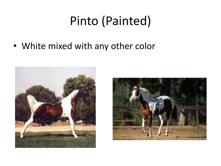 Pinto (Painted)
