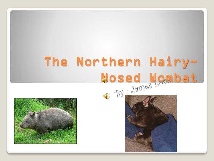 the northern hairy nosed wombat n.