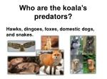 who are the koala s predators