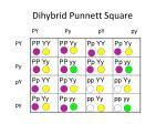 dihybrid punnett square1