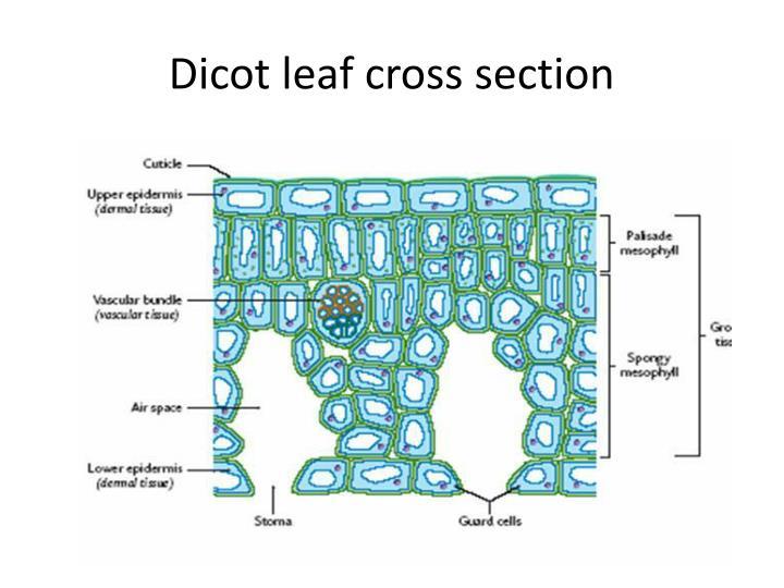 Dicot Leaf Cross Section Diagram 88047 Loadtve