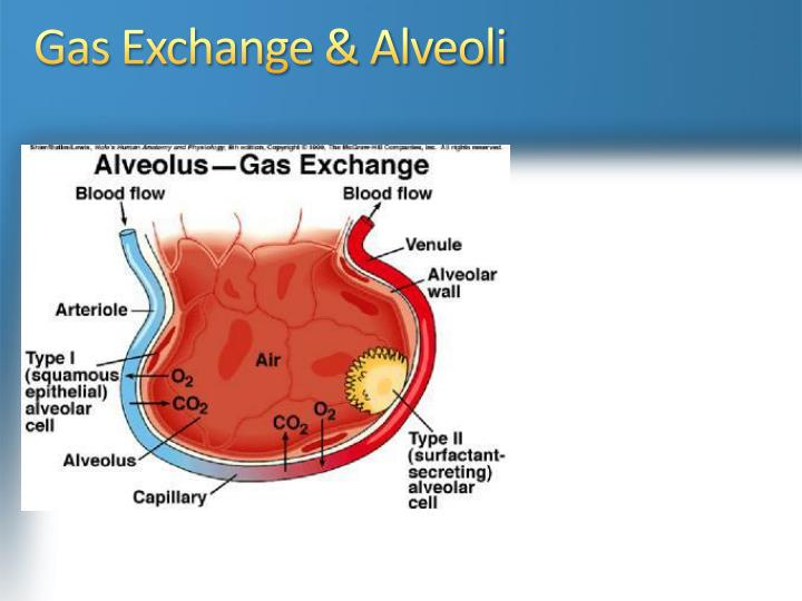 Gas Exchange & Alveoli