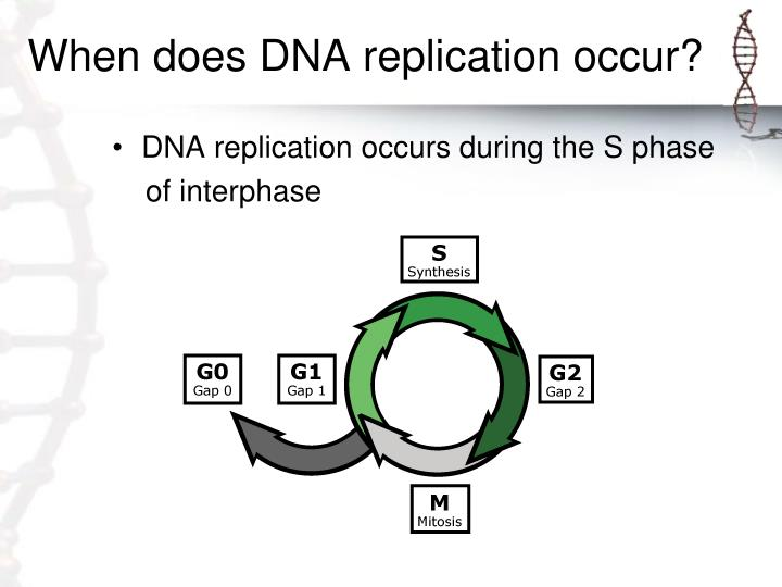 When does DNA replication occur?