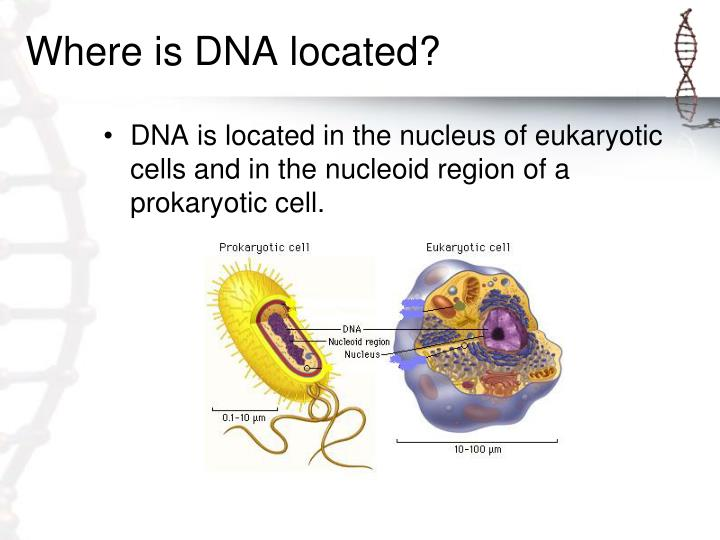 Where is dna located