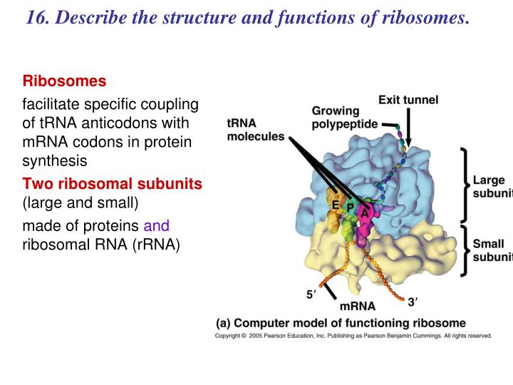 16. Describe the structure and functions of