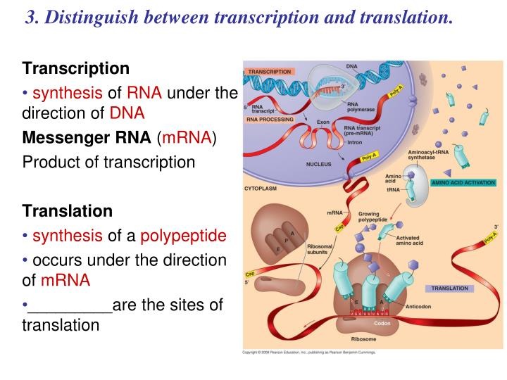 3. Distinguish between transcription and translation.