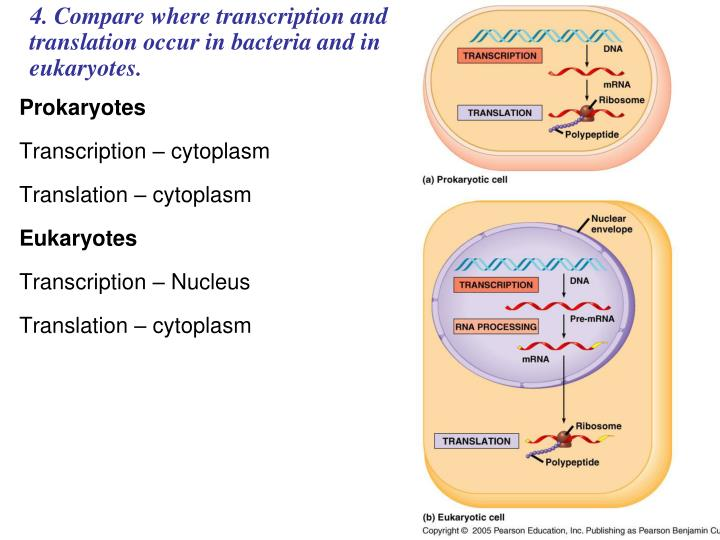 4. Compare where transcription and translation occur in bacteria and in eukaryotes.