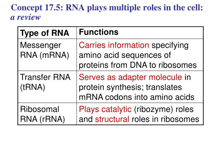 Concept 17.5: RNA plays multiple roles in the cell: