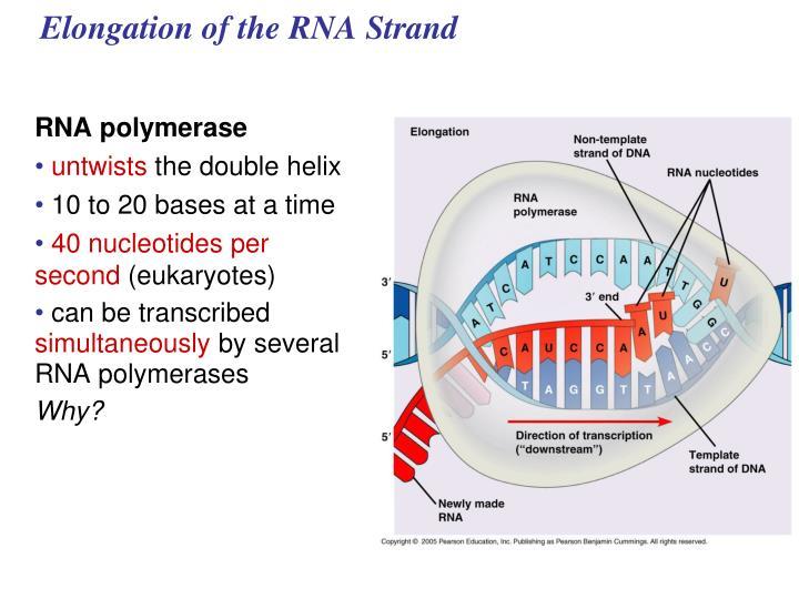 Elongation of the RNA Strand