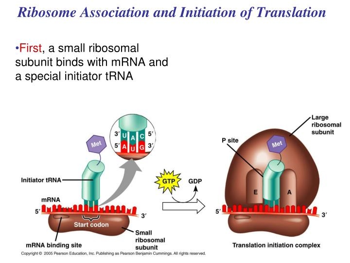 Ribosome Association and Initiation of Translation